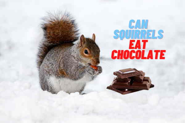 Can Squirrels Eat Chocolate? Are They Safe?