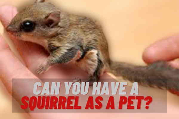 Can You Have A Squirrel As A Pet?