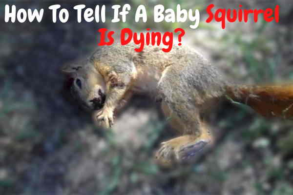 How To Tell If A Baby Squirrel Is Dying? Signs You Should Know