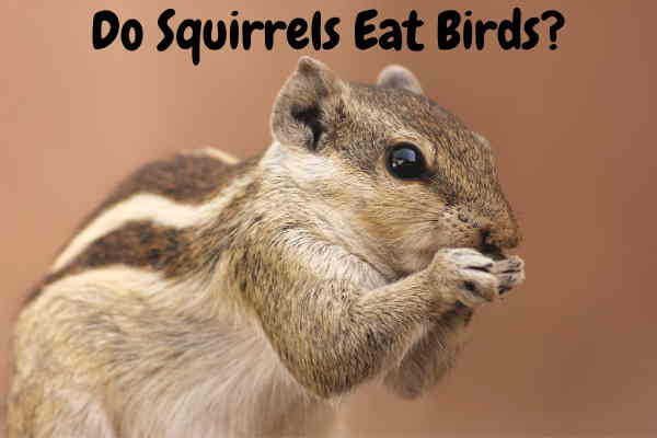 Do Squirrels Eat Birds ?Do They Eat There Eggs?