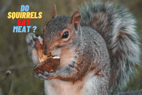 Do Squirrels Eat Meat ? Do They Eat Their Babies?