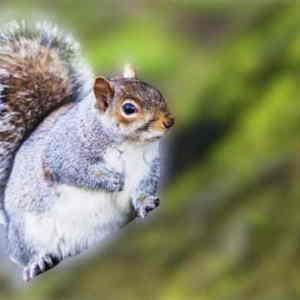 squirrel pregnant